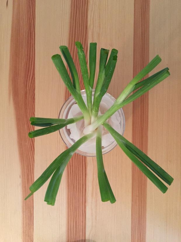 green onions growing in water