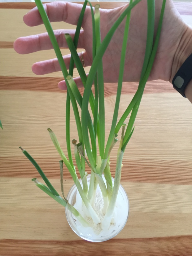 green onions in water