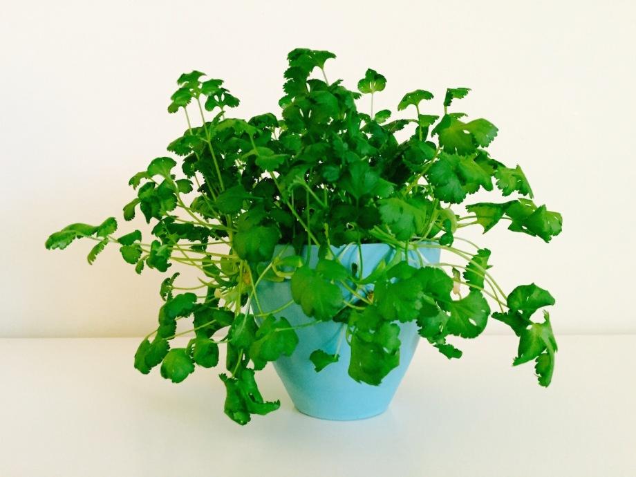 homegrown cilantro
